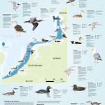 Poster kustvogels RWS & VBN