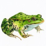 groene kikker (02)