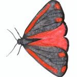 jacobsvlinder