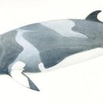 zuidelijke dwergvinvis