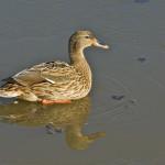 wilde eend (op ijs) ekster © www.tiu.nl