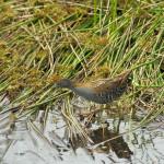 kleinst waterhoen © www.tiu.nl