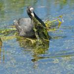 meerkoet © www.tiu.nl