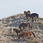 begrazing duinen door paarden